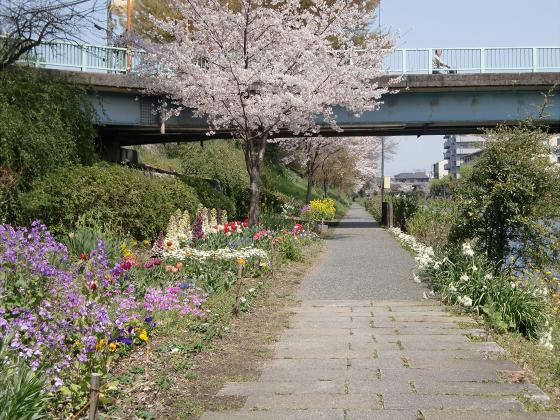 京阪中書島駅付近の桜03