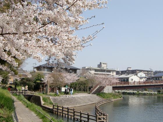 京阪中書島駅付近の桜04