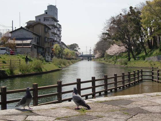 京阪中書島駅付近の桜05
