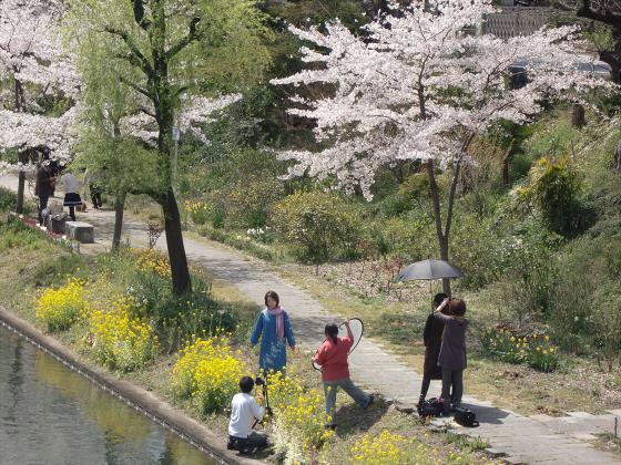 京阪中書島駅付近の桜06