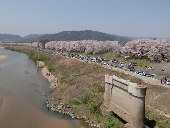 八幡市淀川背割堤の桜2011-03