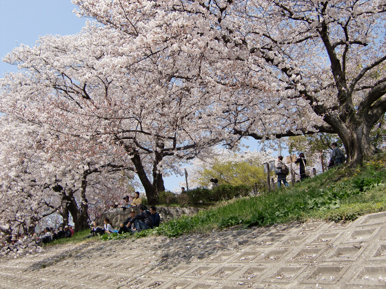 八幡市淀川背割堤の桜2011-04