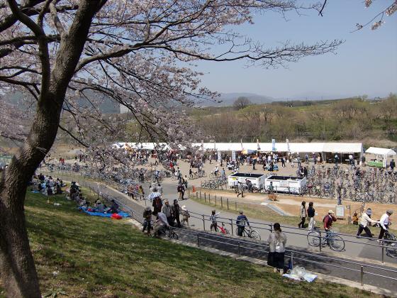 八幡市淀川背割堤の桜2011-05