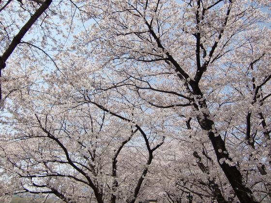 八幡市淀川背割堤の桜2011-06