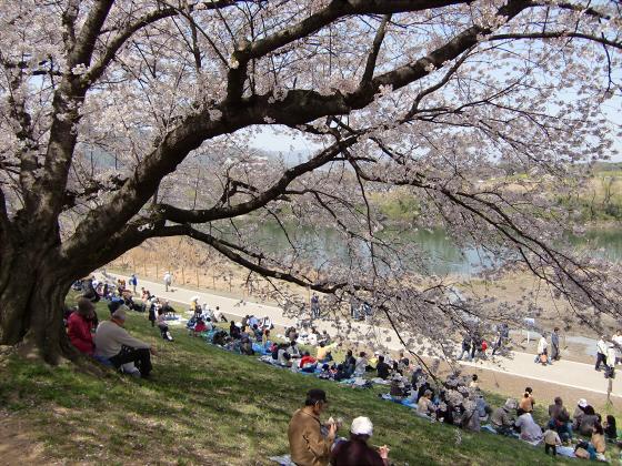 八幡市淀川背割堤の桜2011-08
