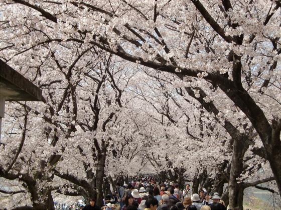 八幡市淀川背割堤の桜2011-09