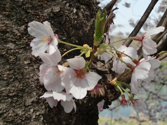 八幡市淀川背割堤の桜2011-10