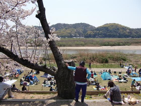 八幡市淀川背割堤の桜2011-11