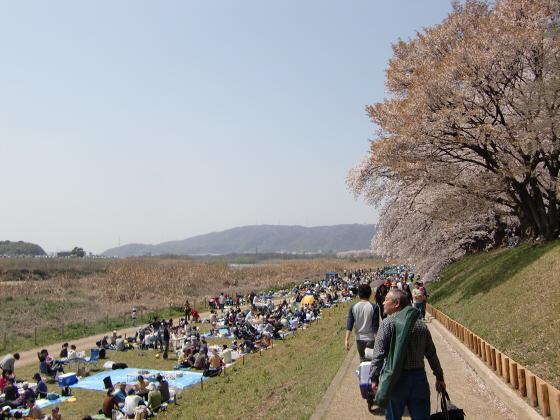 八幡市淀川背割堤の桜2011-12