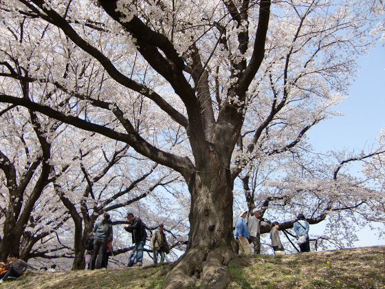八幡市淀川背割堤の桜2011-13