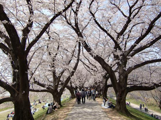 八幡市淀川背割堤の桜2011-15