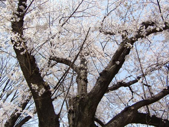 八幡市淀川背割堤の桜2011-16
