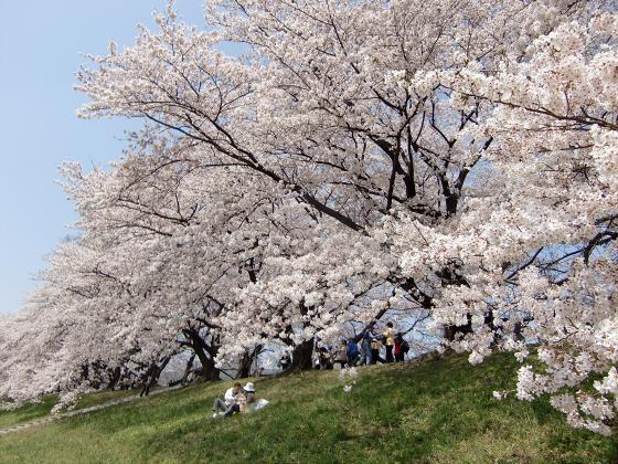 八幡市淀川背割堤の桜2011-17