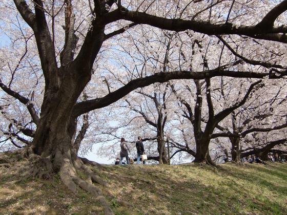 八幡市淀川背割堤の桜2011-18