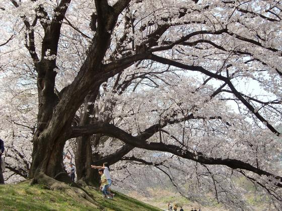 八幡市淀川背割堤の桜2011-19