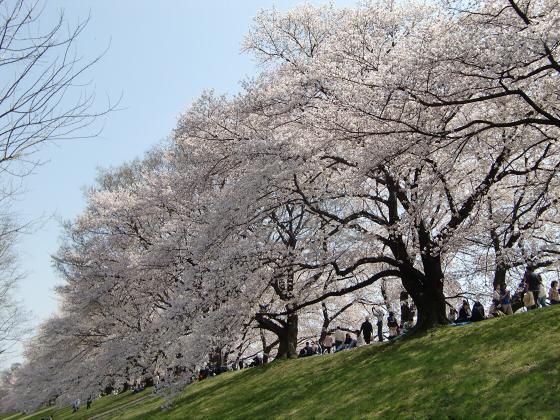 八幡市淀川背割堤の桜2011-20