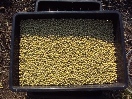 カスを取り除いた大豆の実