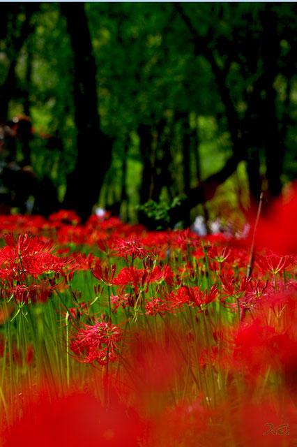 20110924巾着田10