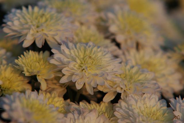 111029小菊の里06