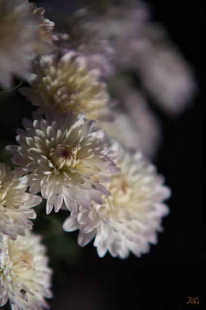 111029小菊の里10