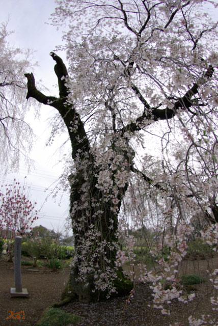 120415桜_お角04