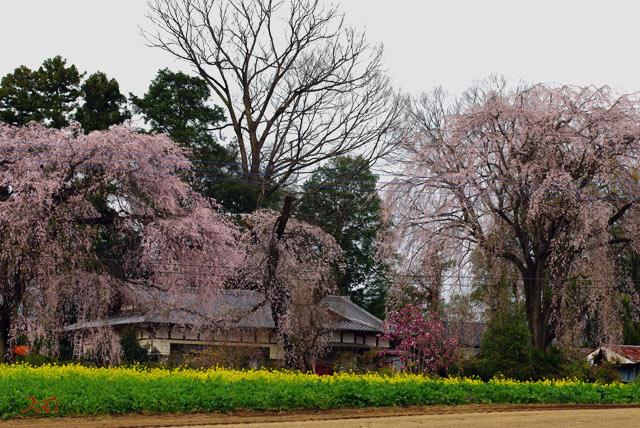120415桜_お角12