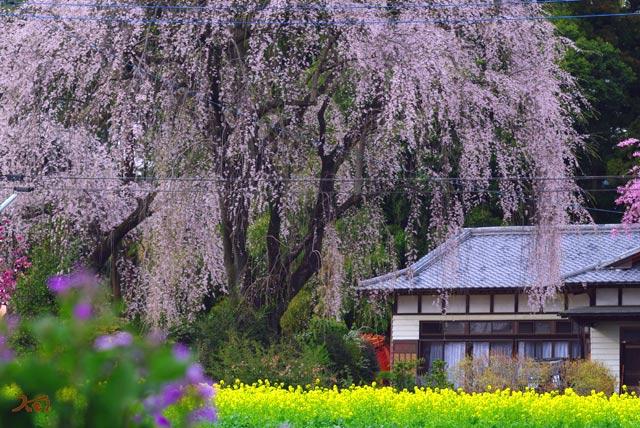 120415桜_お角11