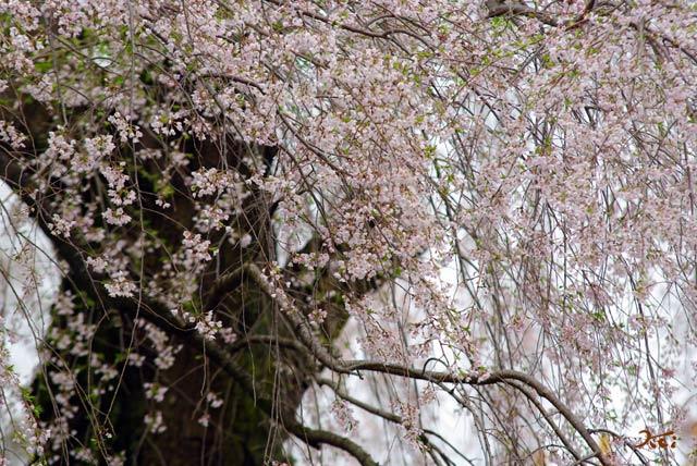 120415桜_お角07