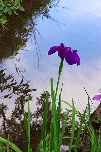 20120617花菖蒲10
