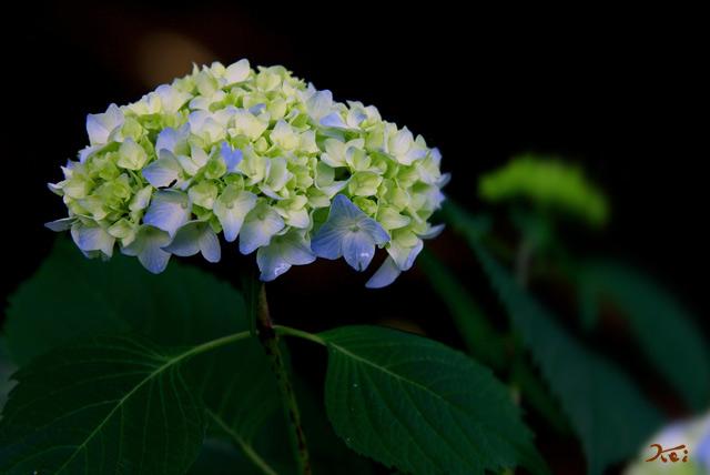 20120617花菖蒲14