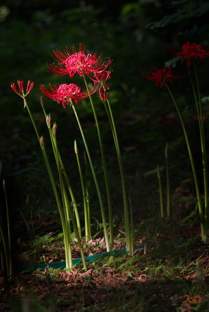 20120916彼岸花_御獄山公園4