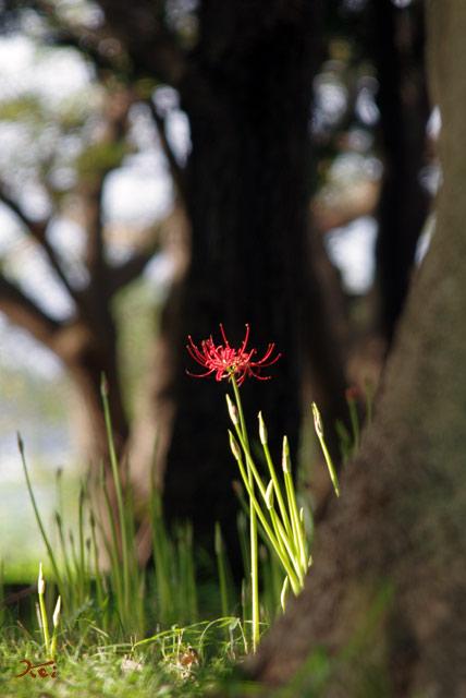 20120916彼岸花_御獄山公園7