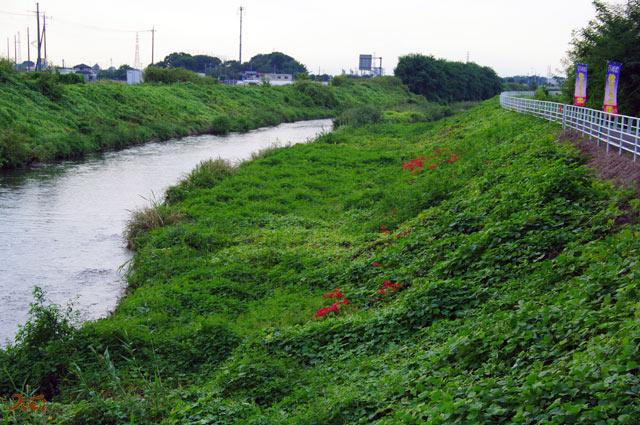 20120922彼岸花早川渕4