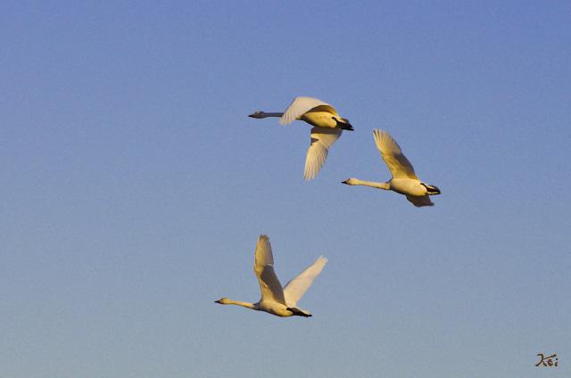20121224白鳥2
