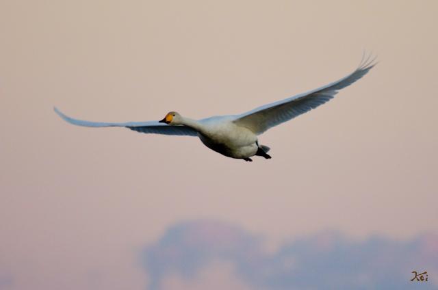 20121224白鳥8