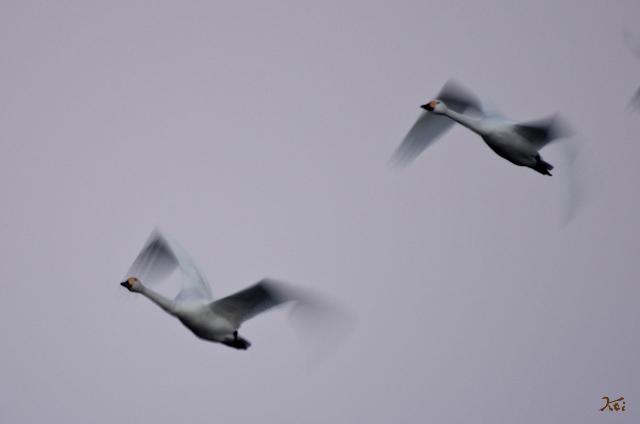 20121224白鳥14