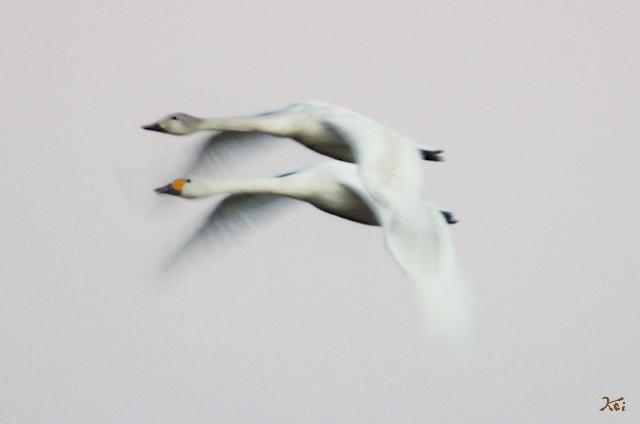 20121224白鳥13