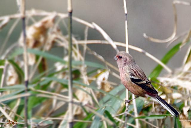 20130126野鳥15