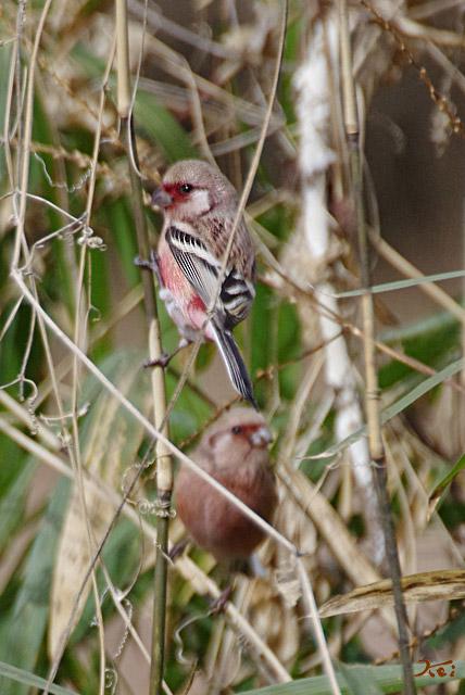 20130126野鳥14