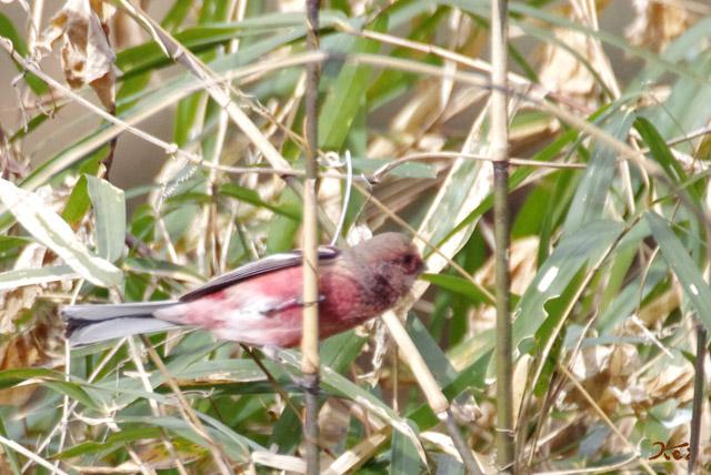 20130126野鳥16