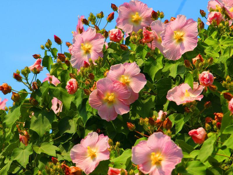 芙容の花 満開です