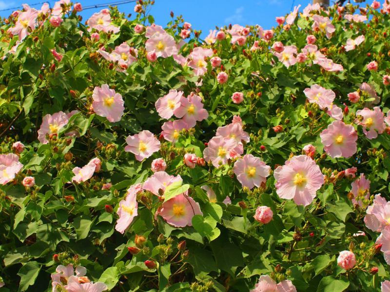 芙容の花3