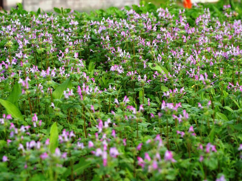 野原いっぱい咲く花 ホトケノザ