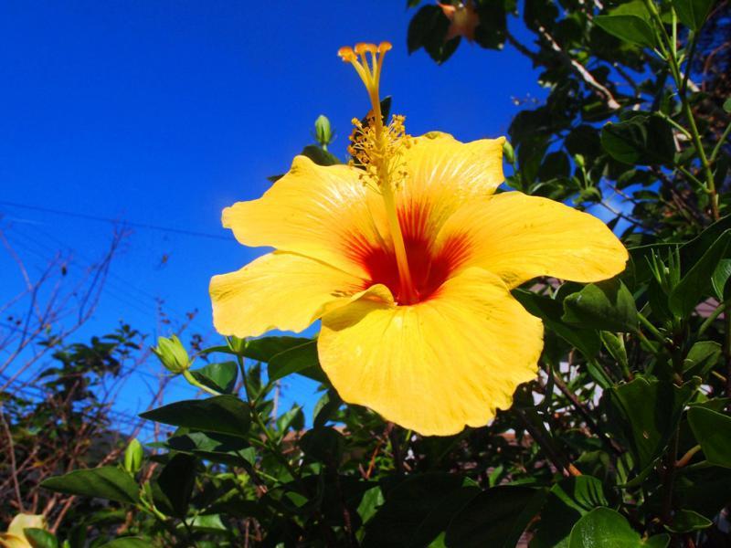 夏日 黄色のハイビスカス