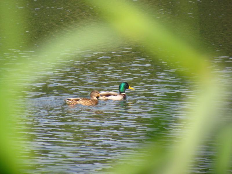 鍬﨑池に  何の鴨?