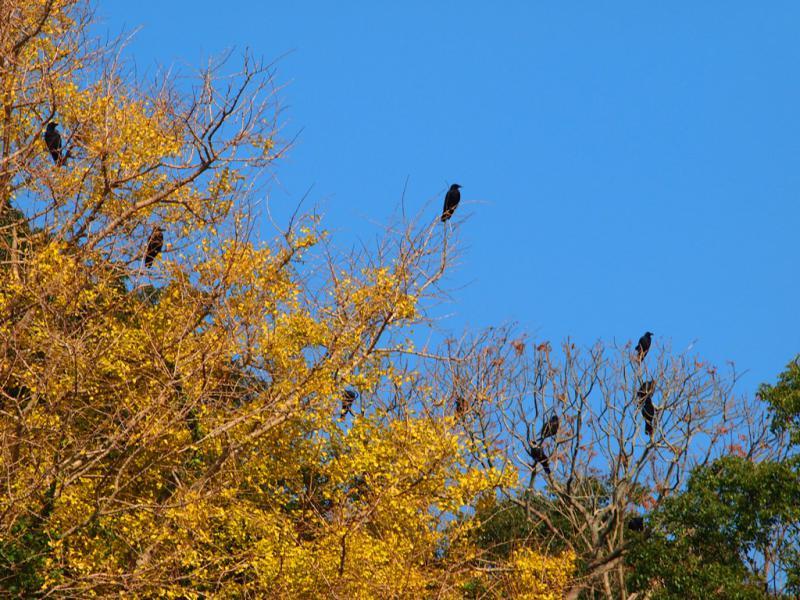 イチョウの木にからすの群れ