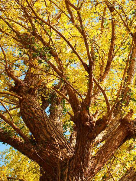 樹齢100年以上 のイチョウの木
