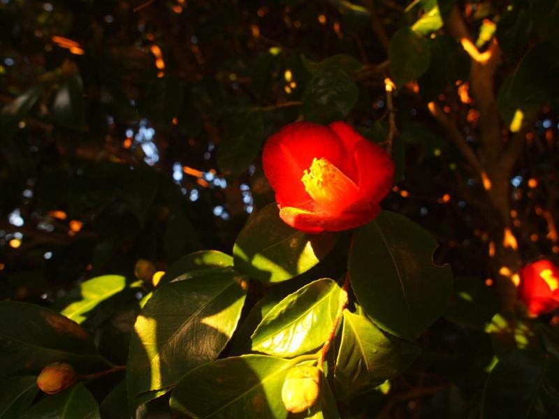 椿 朝陽の中に