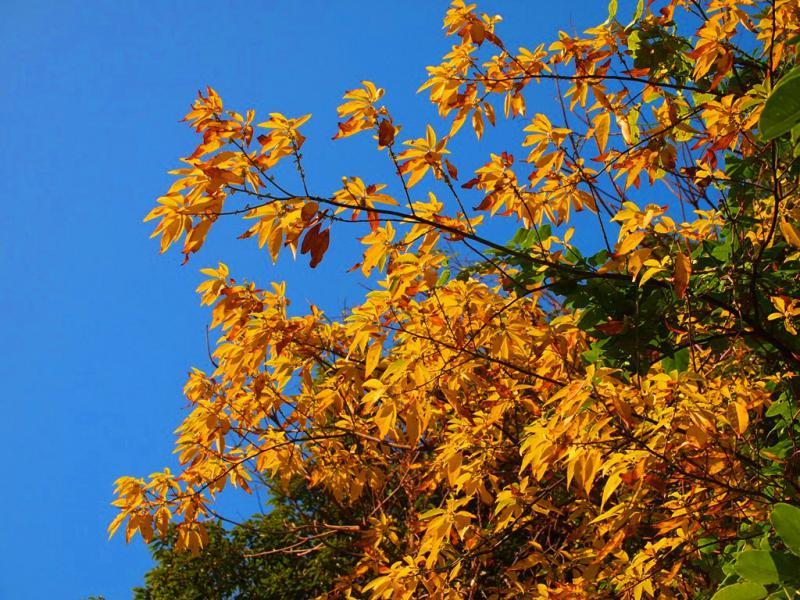 雑木林の黄葉 1