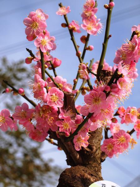 盆栽の梅の花